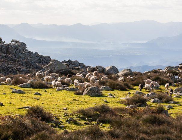 Zona paludosa con vista fra giunchi e pecore